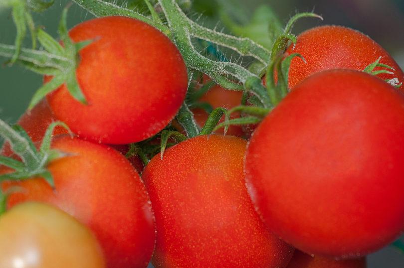 42 Days Tomato