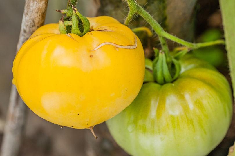 Amish-Tomate
