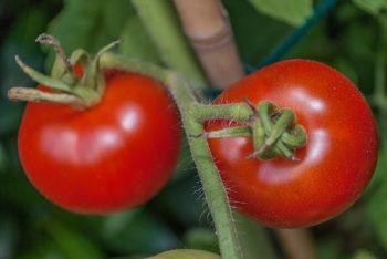 Tomatensorte Ananasove Zlte