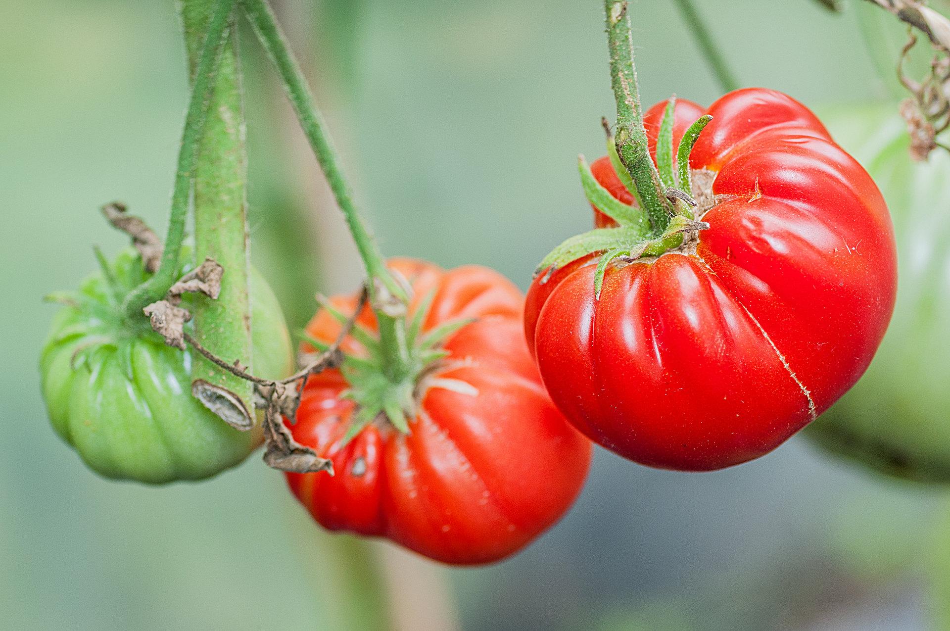 Tomatensorte Bicij Lob