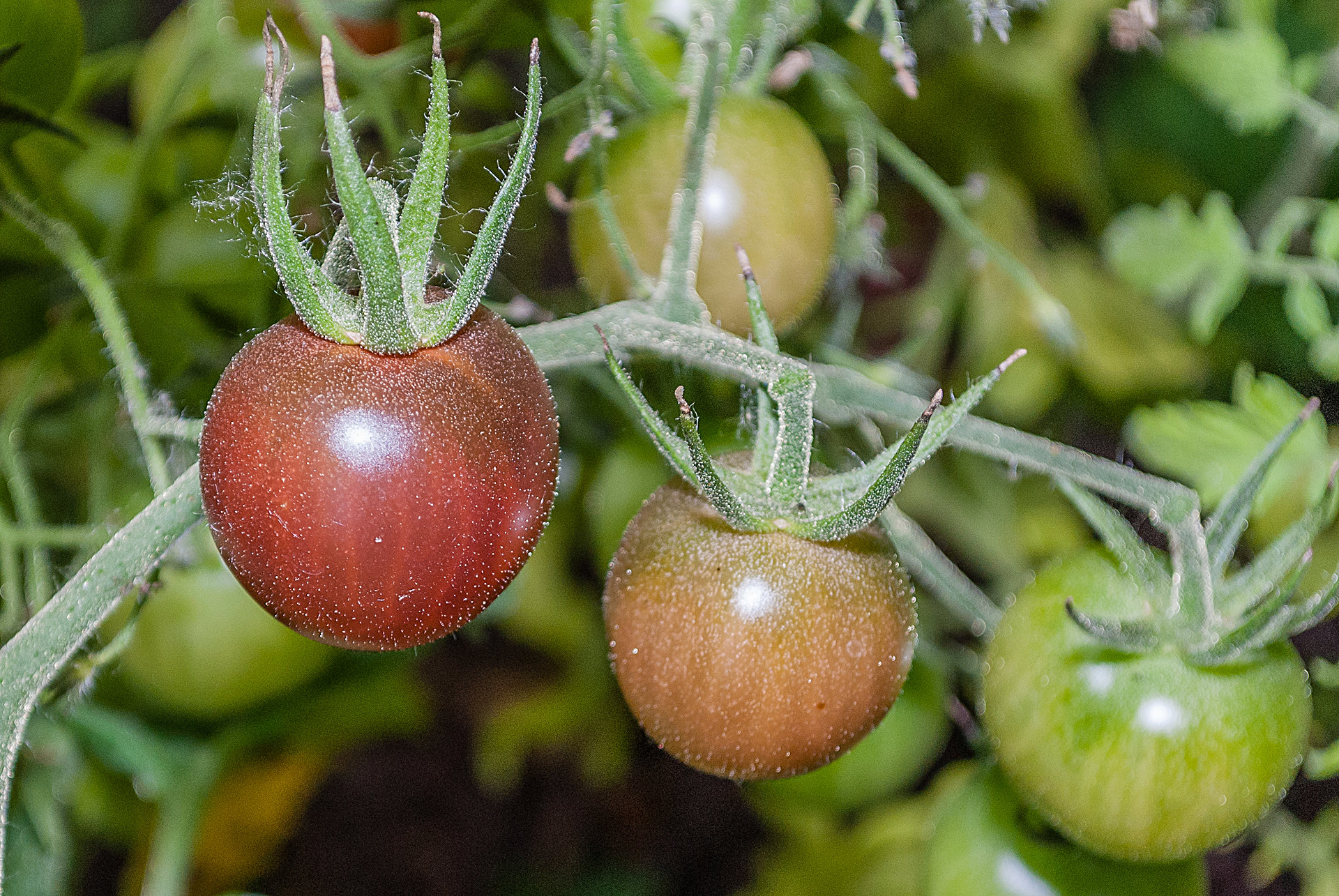 Tomatensorte Black Cherry