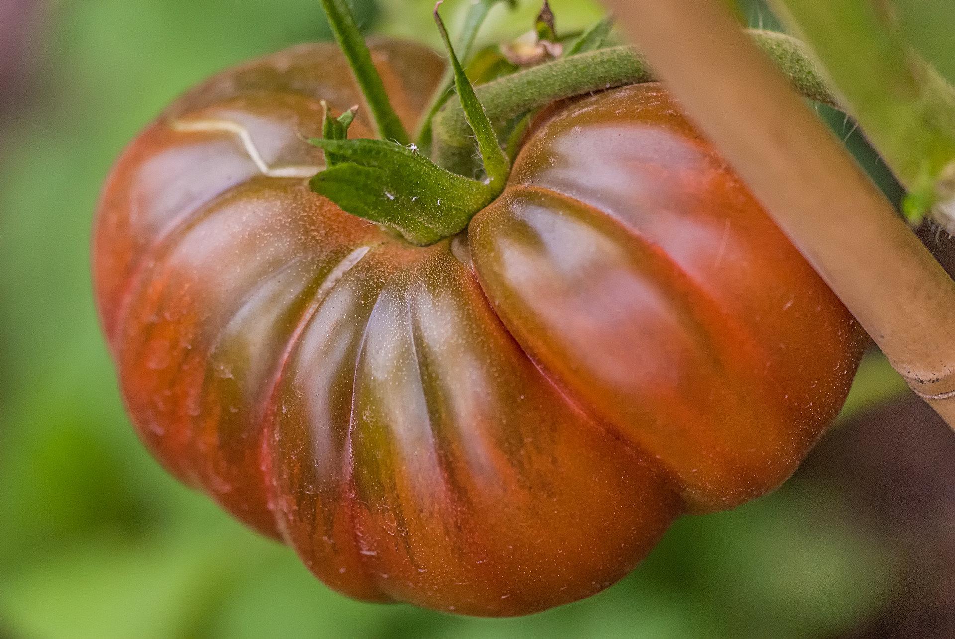 Tomatensorte Black Sea Man