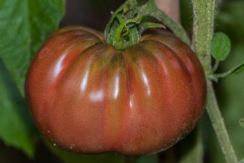 Tomatensorte Blue Fruit