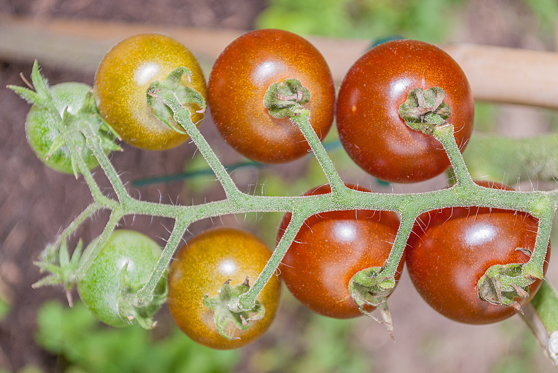 Tomatensorte Brown Cherry