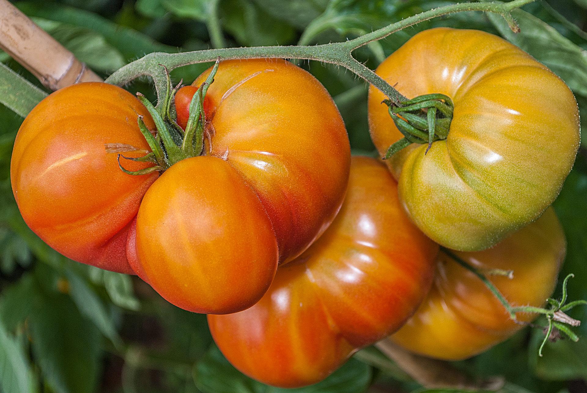 Tomatensorte Cherokee Golden