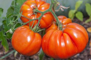 Tomatensorte Grimpante du Mexique