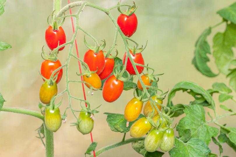 Tomatensorte Jujube Cherry
