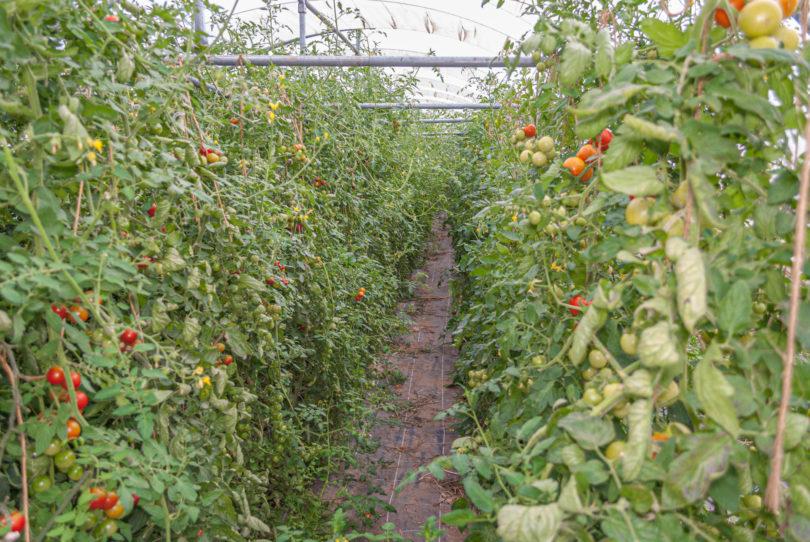 Kommerzieller Tomatenanbau im Gewächshaus