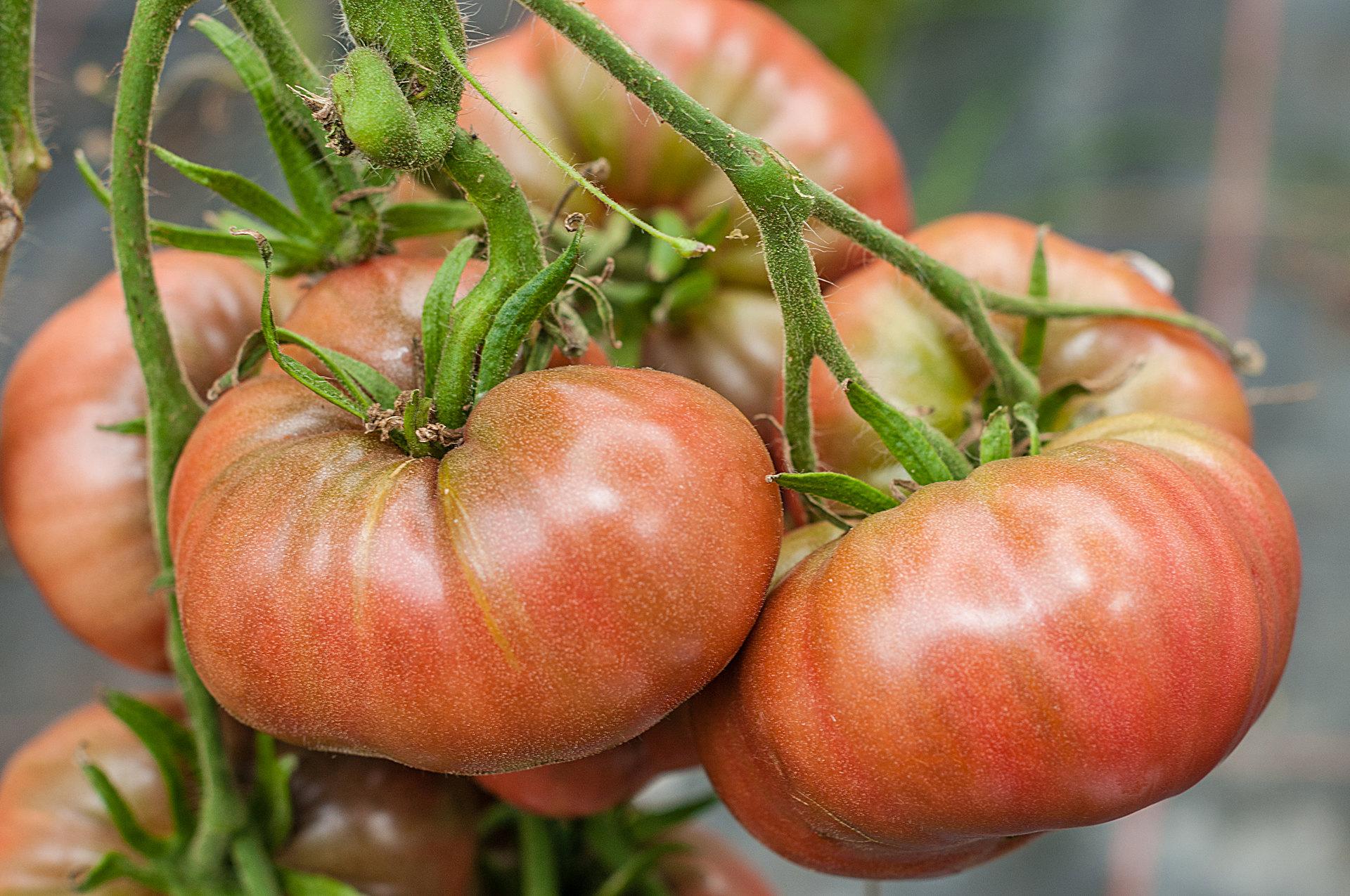 Tomatensorte Schwarze Sara