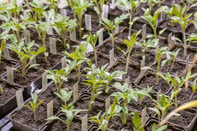 Tomatenjungpflanzen