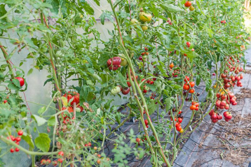 Tomatensorten im Folientunnel